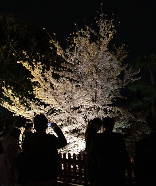 JK sakura night